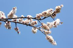 Blooming tree branch against blue sky royalty free stock photography