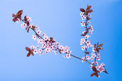 Blooming tree branch on blue Stock Photography