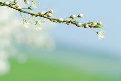 Blooming tree branch with blurred background Royalty Free Stock Photos