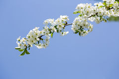 Blooming tree branch at blye sky background Royalty Free Stock Image