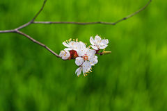 Blooming tree branch Royalty Free Stock Images