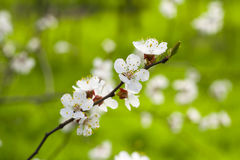 Blooming tree branch Royalty Free Stock Photography