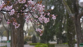 Blooming tree branch on falling snow background. Blooming tree branch against background of falling snow flakes in park in slow motion stock video
