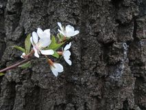 Blooming tree branch Royalty Free Stock Photos