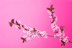 Blooming tree branch on pink Stock Photos