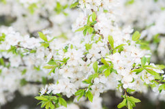 Blooming tree Royalty Free Stock Photo