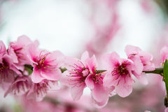 Blooming tree branch in spring  background Stock Photos