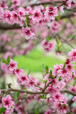 Blooming tree branch in spring background Royalty Free Stock Image
