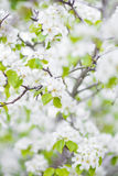 Blooming tree branch. Spring blooming tree branch, white flowers Stock Photos