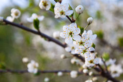 Blooming tree branch with white beautiful flowers Stock Photo