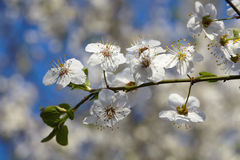 Blooming tree branch with white flowers Royalty Free Stock Image