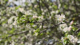 Blooming Tree Branches stock video