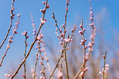 Blooming tree branches with pink flowers against blue sky. Sprin Royalty Free Stock Image