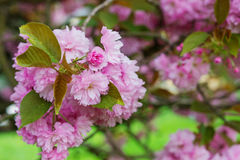 Blooming tree branches with pink flowers and leaves. Spring. Stock Photos
