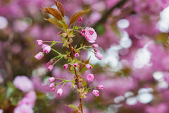 Blooming tree branches with pink flowers and leaves. Spring. Stock Image