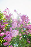 Blooming tree branches with violet lilac flowers . Springtime. Royalty Free Stock Photo