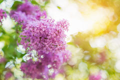 Blooming tree branches with violet lilac flowers . Springtime. S Royalty Free Stock Images