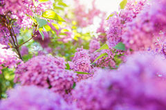 Blooming tree branches with violet lilac flowers . Springtime. S Stock Images