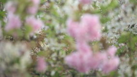 Blooming tree branches waving in the wind. In spring stock video footage