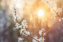 Blooming tree branches with white flowers against sunset. Spring Stock Image