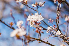 Blooming tree branches with white flowers, blue sky. Springtime Royalty Free Stock Image