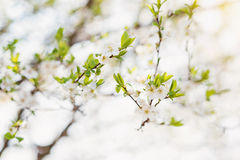 Blooming tree branches with white flowers and green leaves. Spri Royalty Free Stock Images