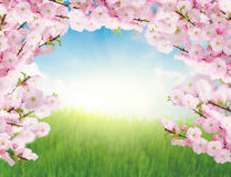 Blooming tree brunches and  green grass Royalty Free Stock Photography