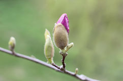 Blooming tree. A button of a bright pink magnolia flower on a branch against a green background. Not budding buds of magnolia. Blooming tree. A button of a stock photography