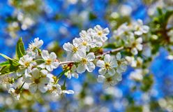 Blooming tree plum on background blue sky Royalty Free Stock Photos