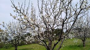 Blooming tree. Cherry tree blooming in the spring royalty free stock photos