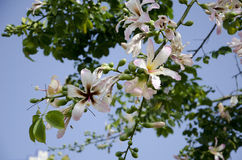 Blooming tree in Cyprus. The extraordinary large flowers like lilies Stock Photography
