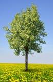 Blooming tree Stock Photos