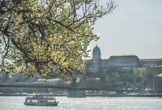 Blooming tree at Danube Pest embankment, Buda castle at background Stock Photo