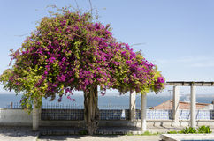 Blooming tree on the embankment. Lisbon Portugal Royalty Free Stock Images