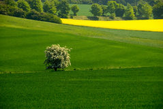 Blooming tree in the field Stock Image