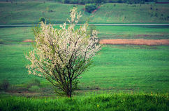 Blooming tree Royalty Free Stock Photos