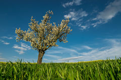 Blooming tree in field Stock Photography