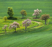 Blooming tree in the field Stock Photos