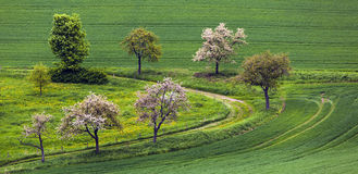 Blooming tree in the field Royalty Free Stock Photo