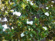 Blooming tree Fikus Royalty Free Stock Images