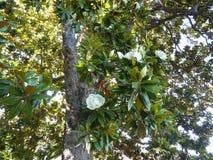 Blooming tree Fikus Stock Photo