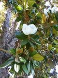 Blooming tree Fikus Stock Photography