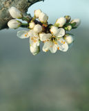 Blooming tree flower. Blooming spring tree flower closeup Stock Photography