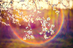 Blooming tree flowers and lens flare. Blooming tree flowers in white spring season of nature beauty sunset light and lens flare Royalty Free Stock Photos