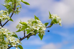 Blooming Tree Flowers in the Sky Stock Photography