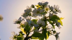 Blooming tree with flowers in spring. Beautiful soft focus footage of spring flowers. Blooming tree with flowers in spring. Beautiful soft focus footage of stock footage