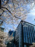 Blooming tree flowers in spring in the city Royalty Free Stock Photography