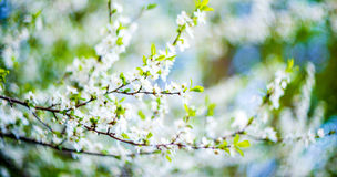 Blooming tree flowers Royalty Free Stock Images