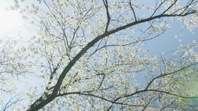 Blooming tree flowers in white spring season of nature beauty.  stock footage