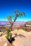 Blooming tree in the foreground of the grand canyon landscape. Arizona, USA Royalty Free Stock Images